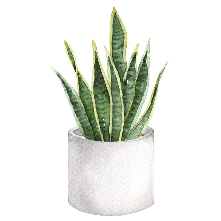 Snake plant for a patio outside